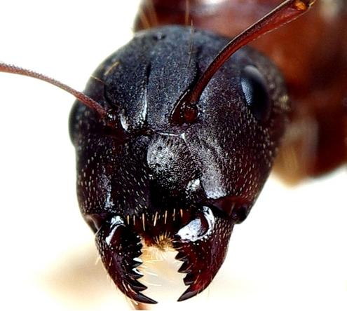 Photos of Cow Ant Bites http://www.pic2fly.com/Cow+Ant+Bite.html